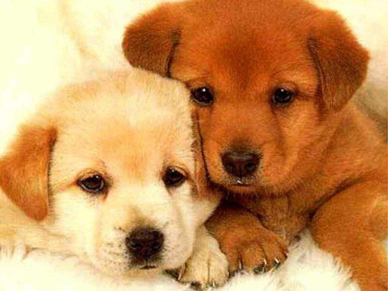 Cane malato: l'allevatore deve risarcire il padrone