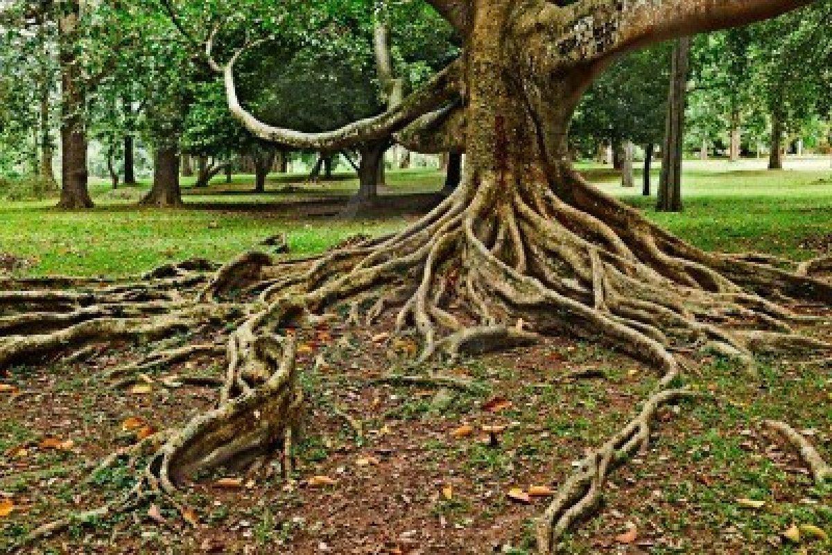 Asfalto rialzato per le radici degli alberi l ente non for Foto di alberi da colorare