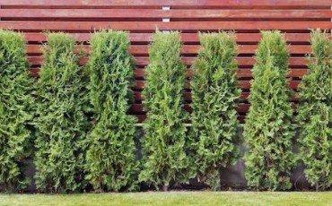 Alberi e siepi distanza altezza potatura e radici for Distanza siepe dal confine