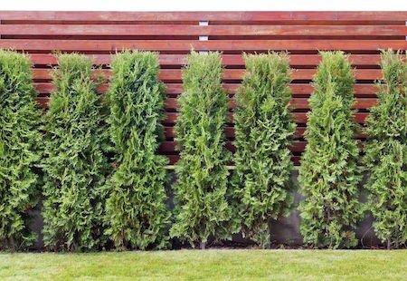 Alberi e siepi distanza altezza potatura e radici - Alberi bassi da giardino ...