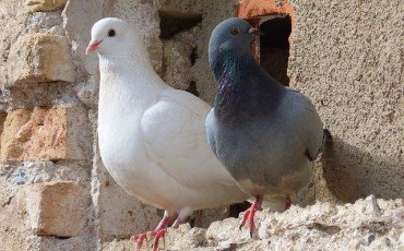 Divieto di dar cibo ai colombi