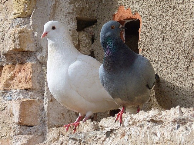 Escrementi di piccioni e uccelli: sì ai dissuasori in condominio