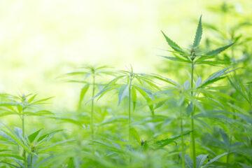 È legale coltivare cannabis?
