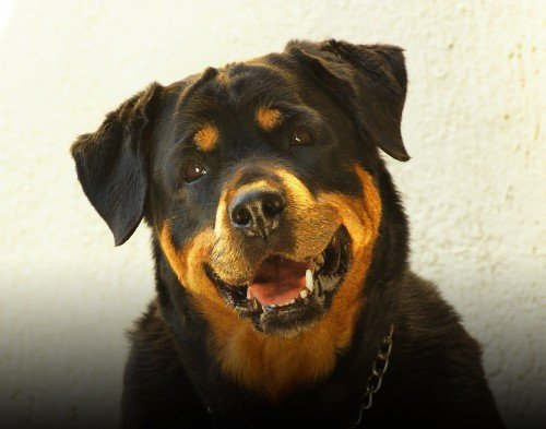 Niente museruola ai cani aggressivi