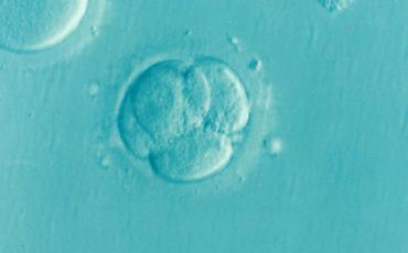 Sperimentazione sugli embrioni: il divieto è legittimo