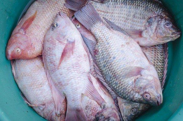 Pesce congelato, risarcimento senza rispetto della catena del freddo