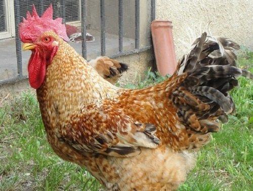Posso avere un pollaio senza il permesso dell'Asl?