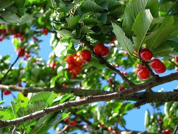 Se le ciliegie del vicino sporcano il mio giardino