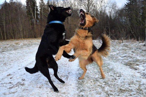 Lite tra due cani: chi risarcisce i danni?