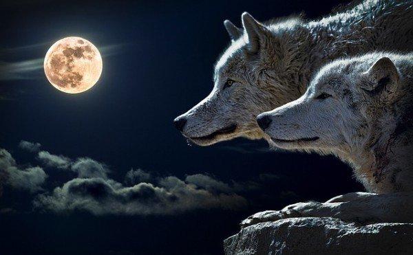 È legale avere un lupo?