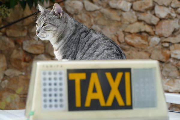 Taxi rifiuta di far salire cani e gatti: come fare