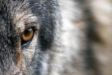 Cane di grossa taglia e pericoloso: obblighi del padrone