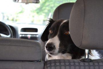Cintura sicurezza per cani