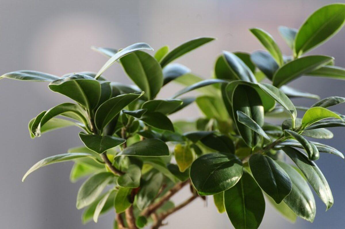 Come Curare Le Piante pianta ficus: come curare