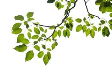 Caduta foglie sulla proprietà altrui