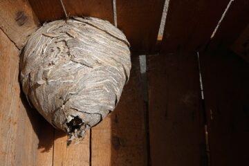 Chi chiamare per un nido di calabroni?