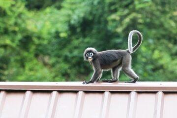 È legale avere una scimmia in Italia?