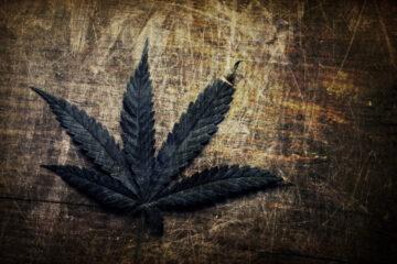 Coltivazione cannabis uso personale: ultime sentenze