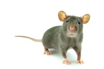 In Italia si possono mangiare i topi?