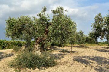 Xylella, 4 bandi per la guerra al batterio ammazza-olivi