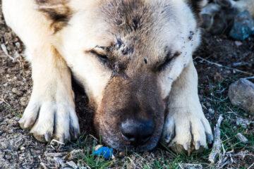 Cosa rischia chi avvelena un cane