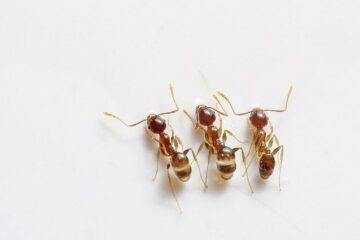 Come fare per eliminare le formiche