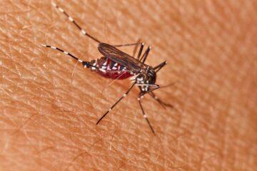 Chikungunya, zanzara tigre e circolazione del virus
