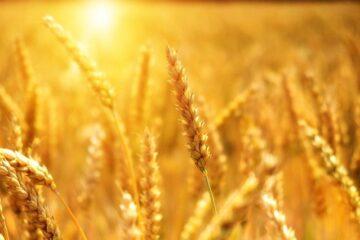 Allergia al grano: sintomi, cause e dieta
