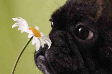Covid: così i cani fiutano chi è positivo al virus