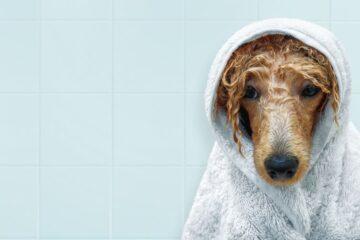 Portare un cane bagnato in auto: si rischia il sequestro