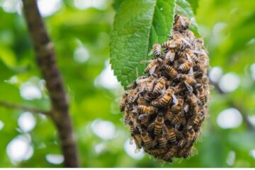 Chi chiamare per uno sciame di api?