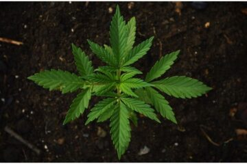 Coltivare cannabis in casa è reato?