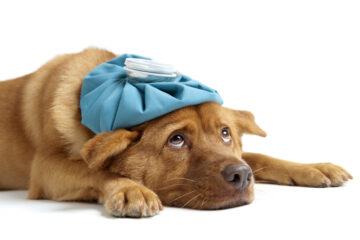 Acquisto cane con displasia: diritti dell'acquirente