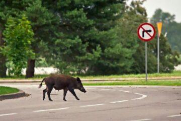 Scontro in strada con animali selvatici: c'è risarcimento?