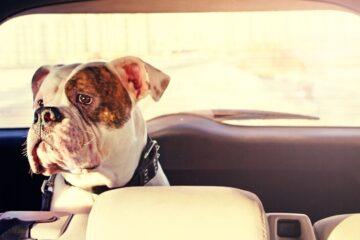 Cane chiuso in macchina per ore: cosa rischia il padrone?